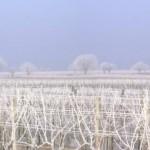 Weingärten im Seewinkel im Winter